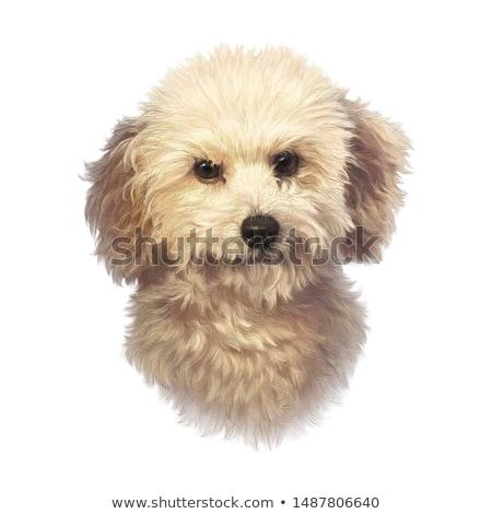 portrait of a cute bolognese dog stock photo © vauvau