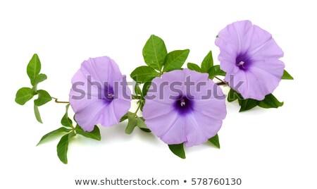 Belo manhã glória branco ilustração natureza Foto stock © bluering