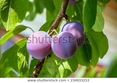 Geel · pruim · vruchten · boom · landbouw · hout - stockfoto © restyler