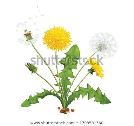 köteg · pitypang · magok · üveg · váza · virág - stock fotó © ansonstock