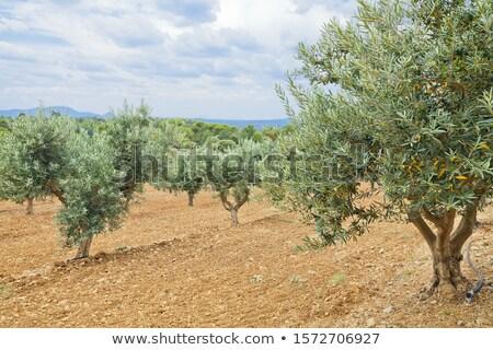 Olive plantation Stock photo © jakatics