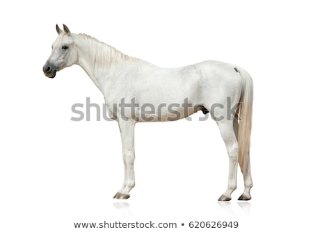 horse isolated on white stock photo © Marcogovel