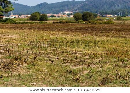 Alan mısır sonbahar Portekiz güneş yaprak Stok fotoğraf © inaquim