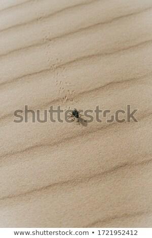 Areia deserto escaravelho pegadas natureza fundo Foto stock © Mikko