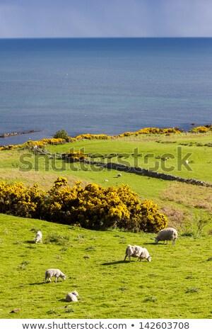 landscape with sheep near crackaig highlands scotland stock photo © phbcz