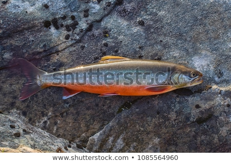 Arctic char Stock photo © cynoclub