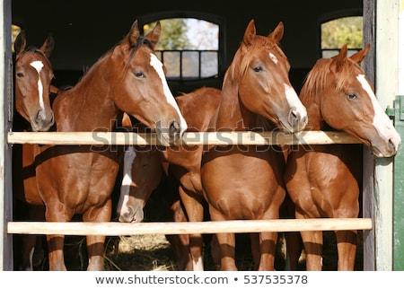 Piękna brązowy kasztan konia stodoła zwierząt Zdjęcia stock © stevanovicigor