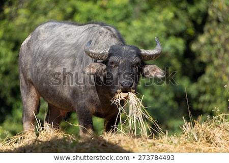 Buffalo eating hay Stock photo © smithore