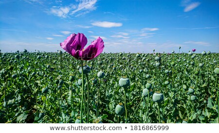 poppy flower and green cocoons stock photo © simazoran