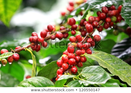 Coffee beans ripening on tree in North of thailand stock photo © teerawit