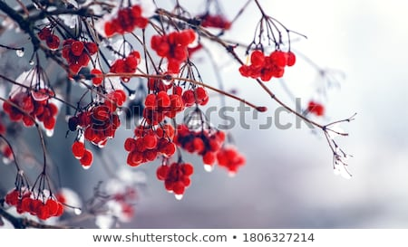 red berries of viburnum in the frost on a branch stock photo © byrdyak