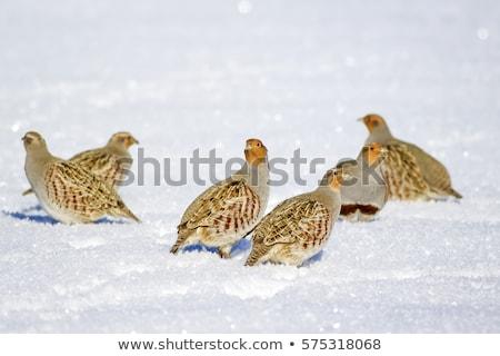 grey partridges on snow Stock photo © taviphoto