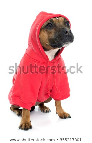 stafforshire bull terrier and coat stock photo © cynoclub