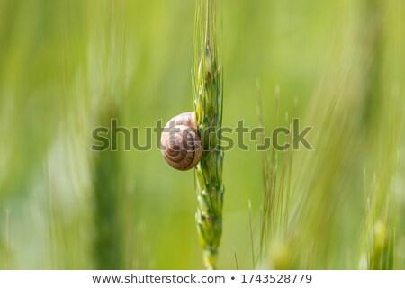 snail on a wheat spikelet  Stock photo © OleksandrO
