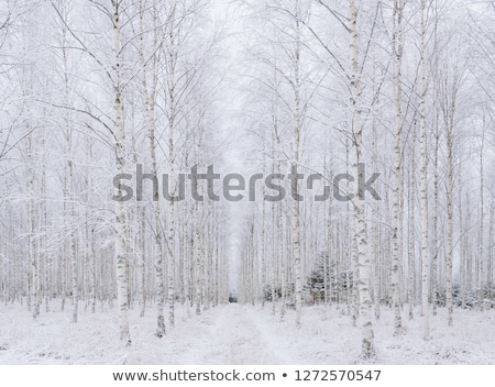 Frost covered birch tree Stock photo © Juhku