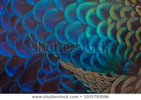 Stock photo: Portrait of beautiful peacock with feathers out