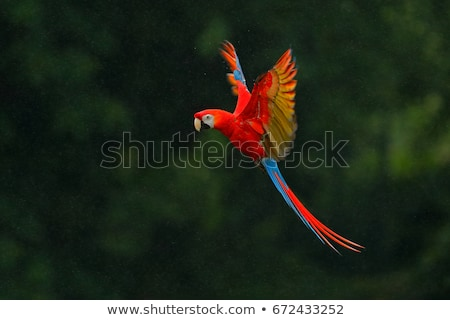 Scarlet macaw (Ara macao) perched upon a branch in the jungle.  stock photo © stefanoventuri