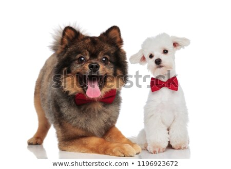 elegant pomeranian and white bichon couple wearing red bowties Stock photo © feedough