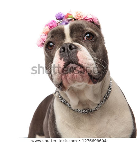 close up of adorable american bully wearing flowers headband Stock photo © feedough