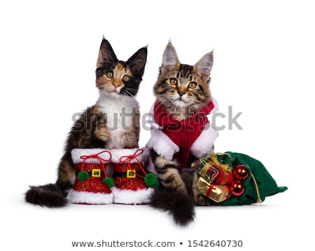 Stock photo: Duo of red tabby and a black tortie Maine Coon cat kittens, isolated on white background.