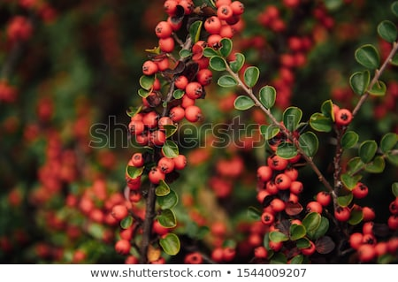 Stock photo: Red berries and green leaves in trailside bushes and shrubs in Ukraine