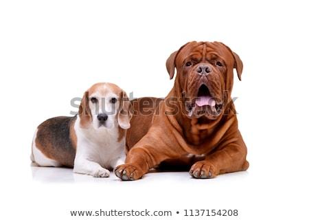 Studio shot of an adorable Dogue de Bordeaux and a beagle Stock photo © vauvau