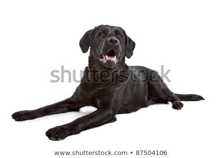 krzyż · psa · labrador · biały · tle - zdjęcia stock © eriklam