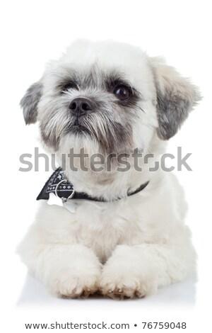 Havanese cachorro vista lateral bonitinho pequeno Foto stock © feedough