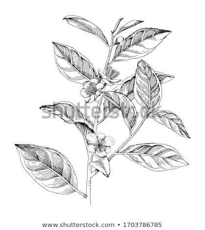 tea plants Stock photo © Mikko