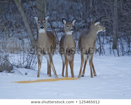 Doe and Two Fawn Whitetail Deer at Corn Stock photo © mybaitshop