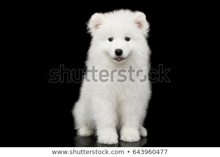 Samoyed dog  on black background. stock photo © EwaStudio