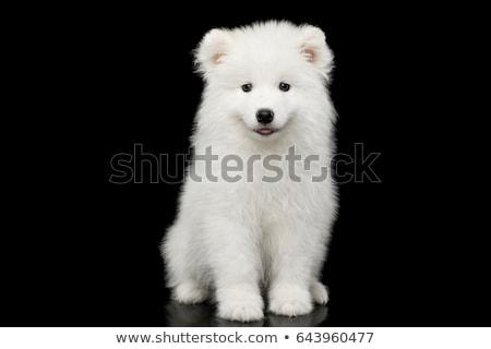 Cão preto fundo pele escuro animal Foto stock © EwaStudio