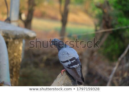 pigeon standing on a rock cliff in the wild Stock photo © alex_grichenko