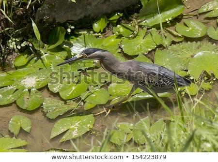 Kwakwa - bird of Heron Stock photo © Mikko