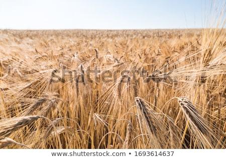 golden cornfields in detail  Stock photo © meinzahn