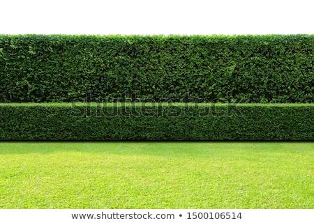 Hedges Stock photo © BigKnell
