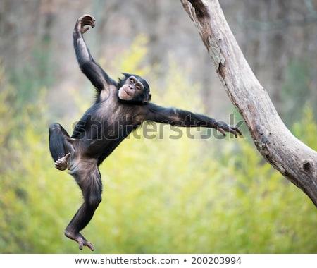 şempanze · çim · kadın · oturma · bakıyor · kamera - stok fotoğraf © jfjacobsz