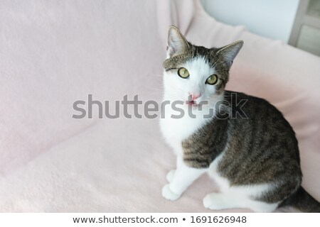 young cat with open mouth at home stock photo © meinzahn