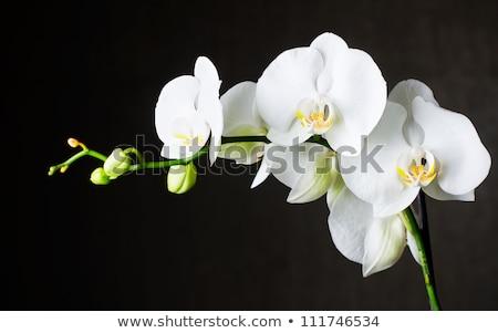 Fehér orchidea sötét zöld virág természet Stock fotó © slunicko