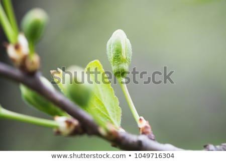 Tavasz nyírfa közelkép lövés fa korai Stock fotó © AlphaBaby