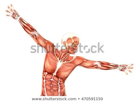 3D férfi orvosi alkat mutat váll Stock fotó © kjpargeter