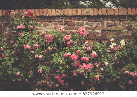 A stonewall with roses Stock photo © bluering