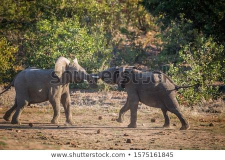 kettő · elefántok · játszik · park · Dél-Afrika · háttér - stock fotó © simoneeman