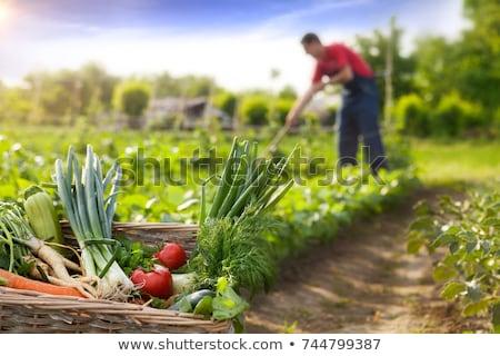 Ripe homegrown tomato in organic vegetable garden Stock photo © stevanovicigor