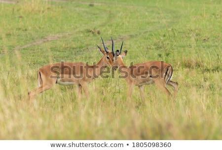group impala during safari Stock photo © compuinfoto