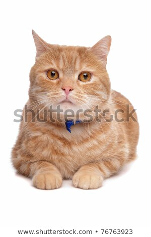 red exotic short-haired maine coon Stock photo © eriklam