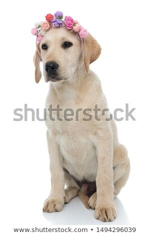happy golden retriever with flowers headband looks to side Stock photo © feedough