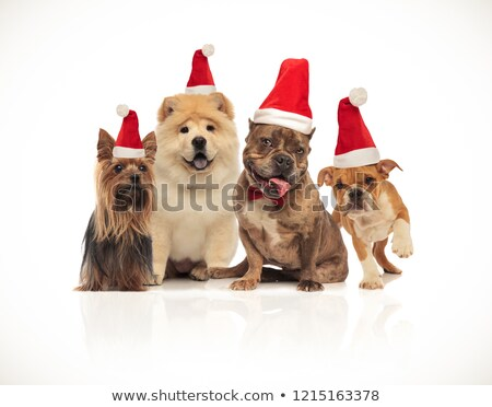 Stock photo: group of four brown santa dogs sitting and standing