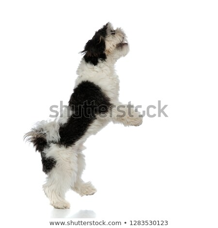 excited shih tzu standing on back paws looks up  Stock photo © feedough