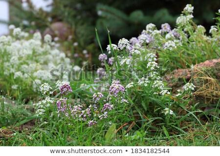 нежный мало белый Полевые цветы Сток-фото © Anna_Om